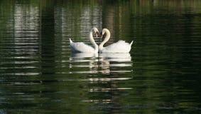 Cisnes en amor Imagen de archivo