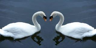 Cisnes en amor Fotografía de archivo