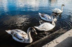 Cisnes en amor Fotos de archivo libres de regalías