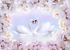 Cisnes en amor enmarcados por las flores de la primavera Foto de archivo libre de regalías