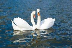 Cisnes en amor, Hyde Park Foto de archivo