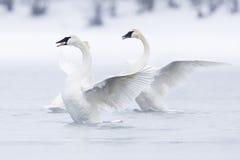 Cisnes en ballet en el agua Fotografía de archivo