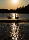 Cisnes en banco de arena Fotos de archivo