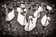 Cisnes en blanco y negro fotografía de archivo