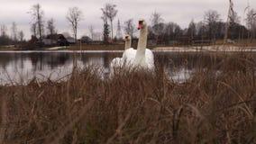 Cisnes en día de invierno