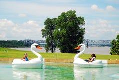 Cisnes en duelo Imagen de archivo