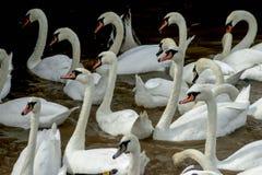 Cisnes en el agua fotos de archivo