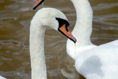 Cisnes en el agua imágenes de archivo libres de regalías