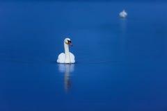 Cisnes en el agua azul tranquila foto de archivo libre de regalías
