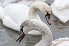 Cisnes en el agua en invierno Imágenes de archivo libres de regalías