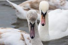 Cisnes en el agua en invierno Fotografía de archivo libre de regalías