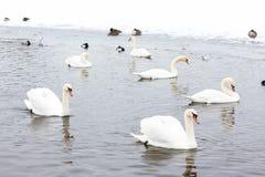 Cisnes en el agua entre nieve Foto de archivo libre de regalías
