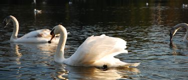 Cisnes en el brezo de Hampstead fotos de archivo libres de regalías
