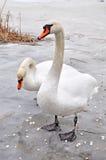 Cisnes en el hielo Fotografía de archivo libre de regalías