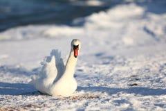 Cisnes en el invierno, alimentando Imágenes de archivo libres de regalías