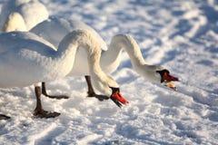Cisnes en el invierno, alimentando Foto de archivo libre de regalías