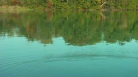 Cisnes en el lago almacen de metraje de vídeo