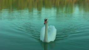 Cisnes en el lago almacen de video