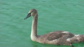 Cisnes en el lago metrajes