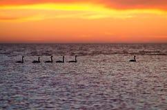 Cisnes en el lago Imagenes de archivo