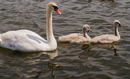 Cisnes en el lago Imagen de archivo libre de regalías