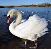 Cisnes en el lago Foto de archivo libre de regalías