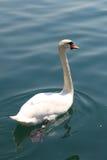 Cisnes en el lago, año 2008 Imagenes de archivo