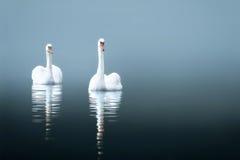 Cisnes en el lago brumoso imagen de archivo