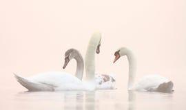 Cisnes en el lago brumoso winter Imagen de archivo libre de regalías