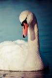 Cisnes en el lago con el fondo del agua azul Fotos de archivo libres de regalías