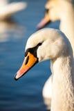 Cisnes en el lago con el fondo del agua azul Imagen de archivo libre de regalías