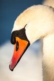Cisnes en el lago con el fondo del agua azul Imagenes de archivo