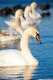 Cisnes en el lago con el fondo del agua azul Foto de archivo libre de regalías