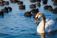 Cisnes en el lago con el fondo del agua azul Imágenes de archivo libres de regalías
