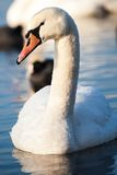 Cisnes en el lago con el fondo del agua azul Fotografía de archivo libre de regalías