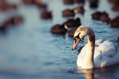 Cisnes en el lago con el fondo del agua azul Foto de archivo