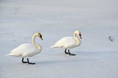 Cisnes en el lago congelado Fotografía de archivo libre de regalías