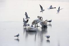 Cisnes en el lago congelado Imágenes de archivo libres de regalías
