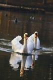 Cisnes en el lago en puesta del sol Fotografía de archivo libre de regalías
