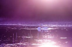 Cisnes en el lago en la luz violeta de la puesta del sol fotografía de archivo