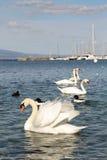 Cisnes en el lago Lemán Imagen de archivo libre de regalías