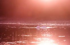 Cisnes en el lago en luz de la puesta del sol imagenes de archivo