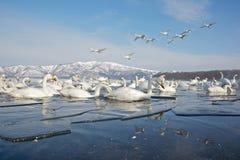 Cisnes en el lago parcialmente congelado Imagenes de archivo