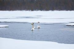 Cisnes en el lago parcialmente congelado Fotos de archivo libres de regalías