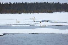 Cisnes en el lago parcialmente congelado Fotos de archivo