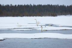 Cisnes en el lago parcialmente congelado Foto de archivo