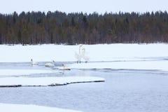 Cisnes en el lago parcialmente congelado Imágenes de archivo libres de regalías