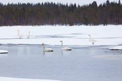 Cisnes en el lago parcialmente congelado Foto de archivo libre de regalías