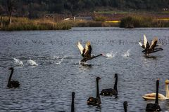 Cisnes en el lago Puer Fotos de archivo libres de regalías