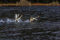 Cisnes en el lago Puer Fotografía de archivo